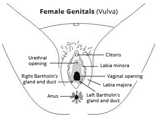 Useful women rubbing vulvas