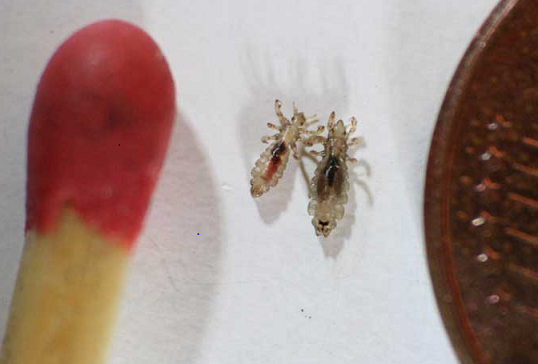 Head lice with match/comb
