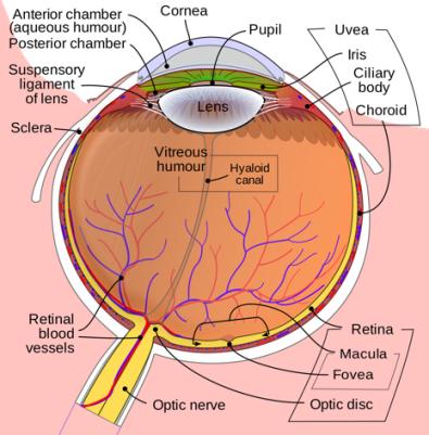 Human eye diagram