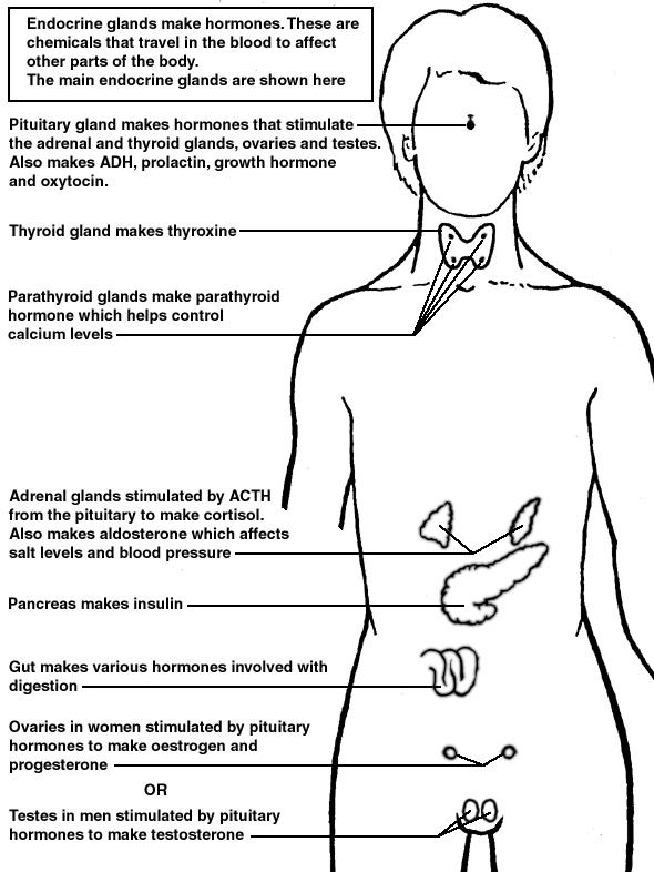 endocrine glands diagram patient. Black Bedroom Furniture Sets. Home Design Ideas