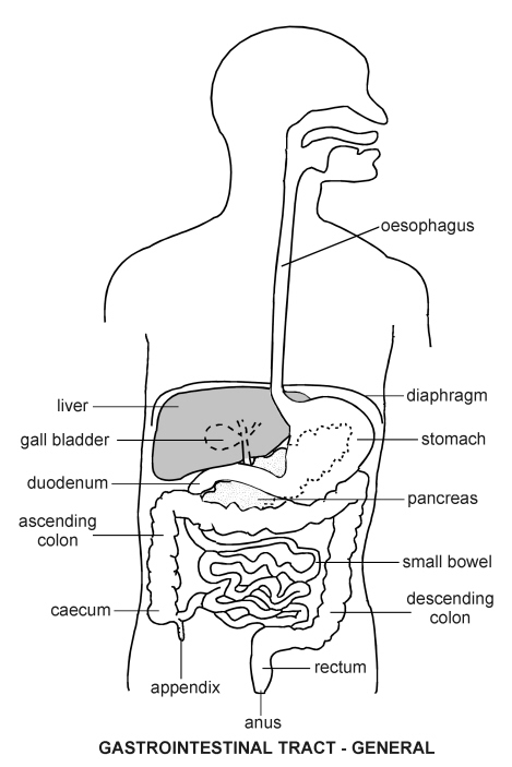 Gastrointestinal tract diagram