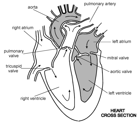 heart - cross section | diagram | patient, Muscles