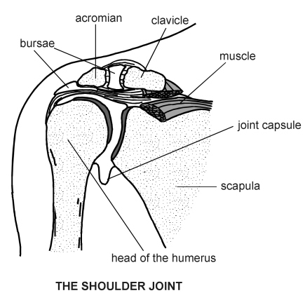 shoulder joint | diagram | patient, Skeleton