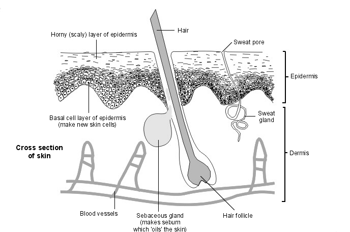 Skin-Cross Section | Diagram | Patient
