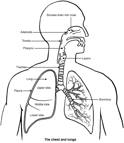 Best    lung       diagram    with labels for biology classes   Jdy Ramble On