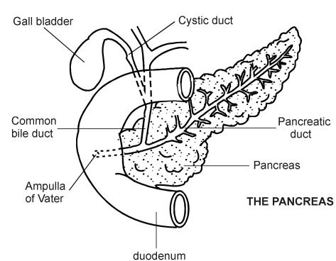 Pancreas | Diagram | Patient