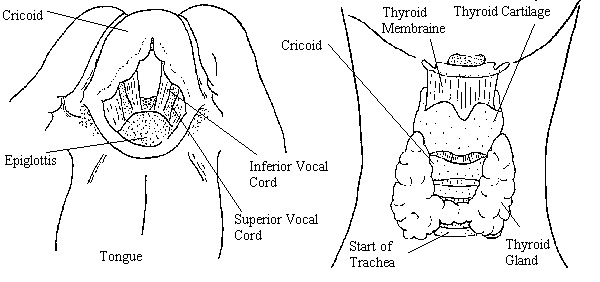 Larynx Diagram Unlabeled More Information