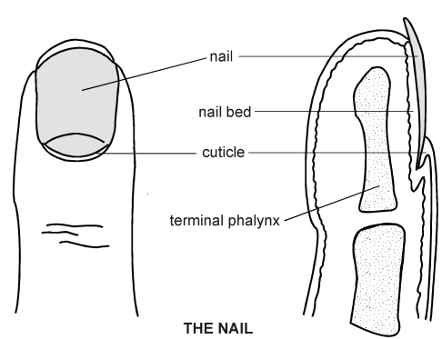 Nail | Diagram | Patient