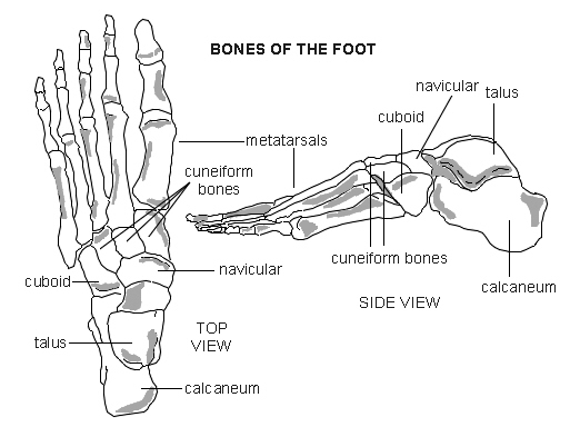 Foot - bones | Diagram | Patient