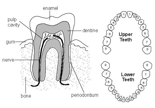 Teeth : Diagram : Patient.co.uk