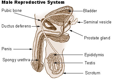 male reproductive system | diagram | patient, Human Body