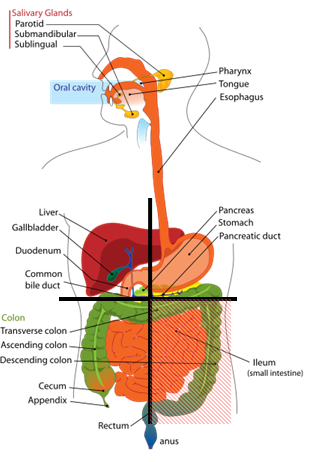 Right and Left Upper Quadrant Organs