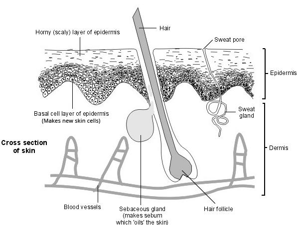 Skin - cross section