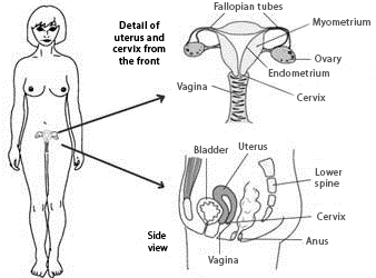 Cross-section diagrams of the female reproductive organs detailing the uterus