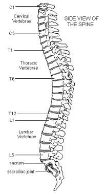 Whole spinal cord